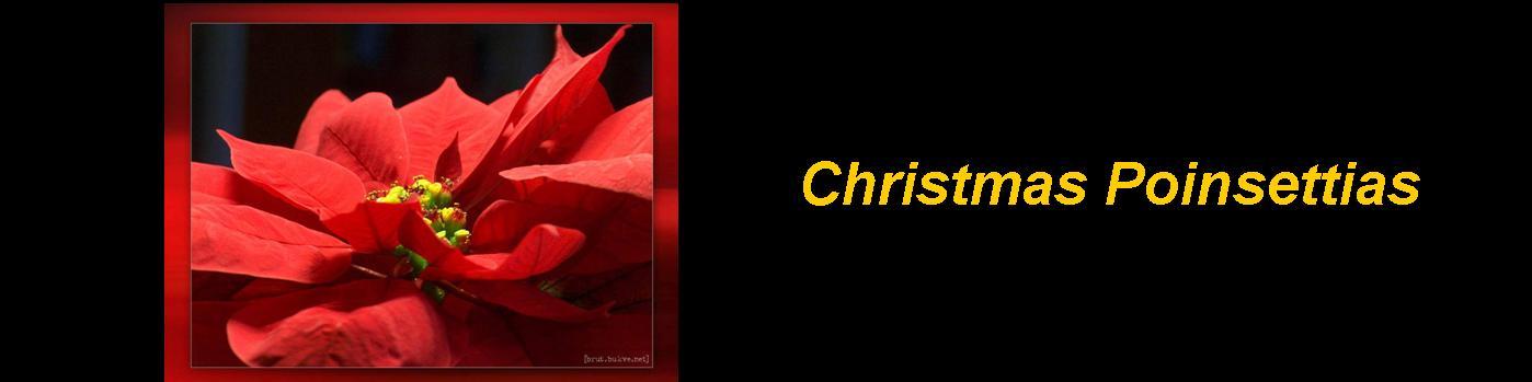 Christmas Poinsettias logo